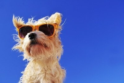 Small, hairy dog wearing sunglasses. Notably, it is not wearing a hat.